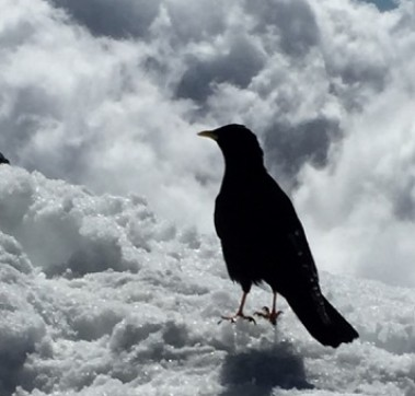 Grecchio Alpino / Alpine Chough (each one is the spirit of a climber)